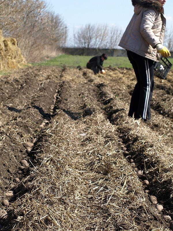 Как сажать картошку на траву 95